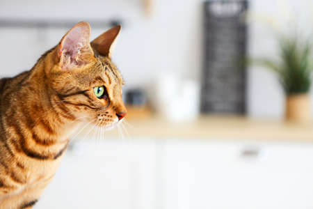 Bengal cat on white background sits sideways, looks aside. Kitchen on background Foto de archivo