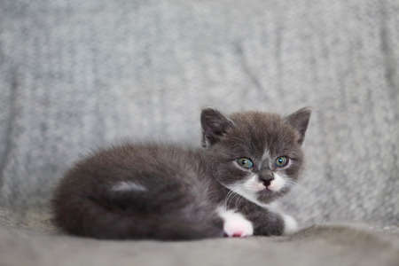 Cute little British shorthair kitten on the sofa Standard-Bild