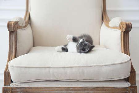 Cute little British shorthair kitten on armchair, indoors