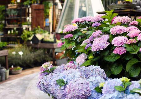 Beautiful blooming pink and purple hydrangea or Hortensia flowers growing in flower shop garden