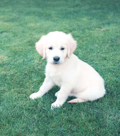 Adorable little light beige puppy looking away while sitting on green grass in park