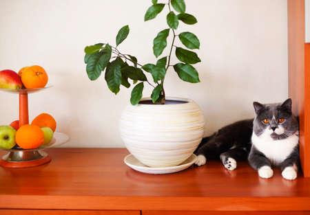 Cute calm fluffy cat resting on wooden shelf near green plant in white ceramic pot and vase with fresh fruits in cozy room 版權商用圖片
