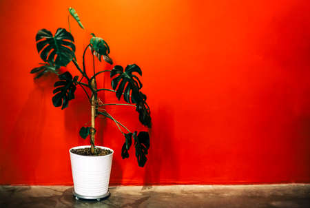 White pot with green monstera plant placed on floor against bright red wall