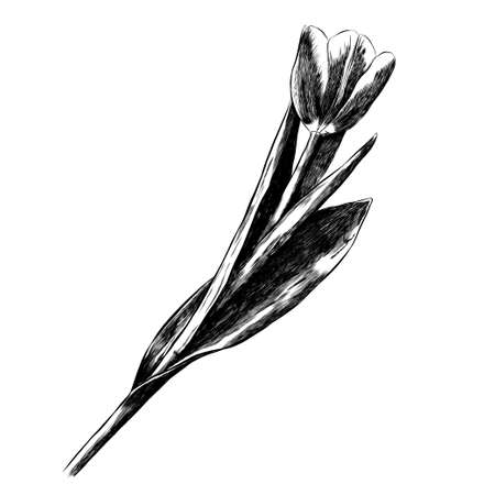 Realistic sketch flower. Tulip. Print for t-shirt, phone case. For your use. Illustration