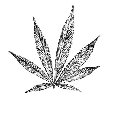Vector botanical illustration. Hemp. Realistic sketch of Cannabis. For your design.