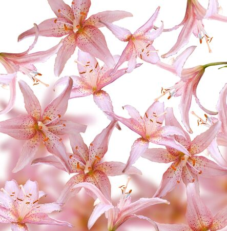 pink flowers isolated over white Stock Photo - 5270458