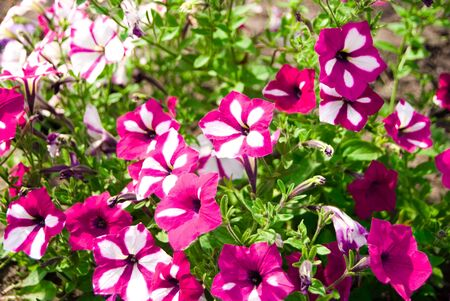 much flowers with pink white petal and green leaf small depth sharpness photo