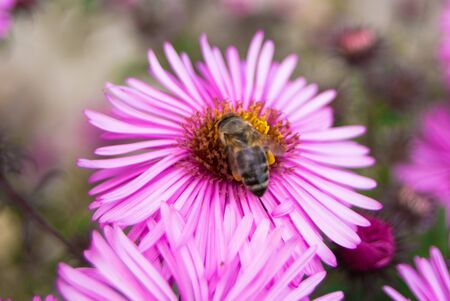 sharpness: bee sit on pink flower small depth sharpness Stock Photo