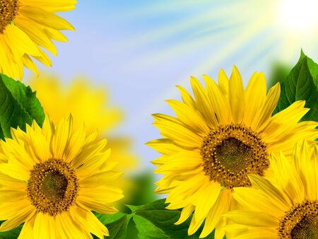 yellow sunflowers with green leaf on background blue sky with rays sun photo