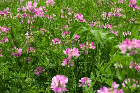 dutch clover: meadow from pink flowers with green leaf