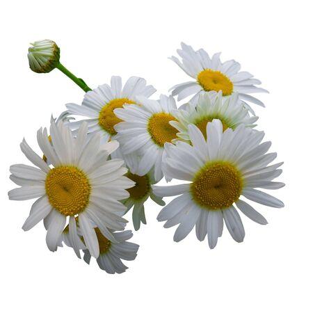 daisywheel: flowers daisywheel isolated over white