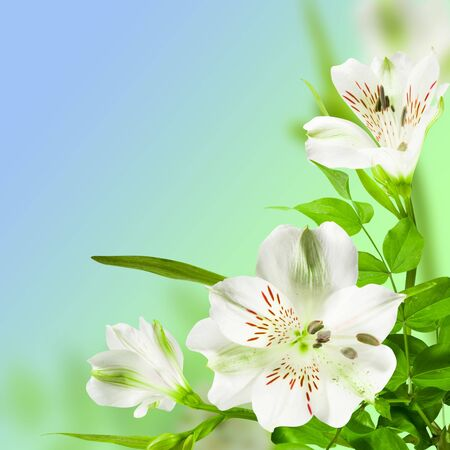 flowers white lily with green leafes on blue background photo