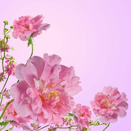 rose frame: Rose flowers on pink background