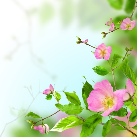 Pink flowers rose on green background photo