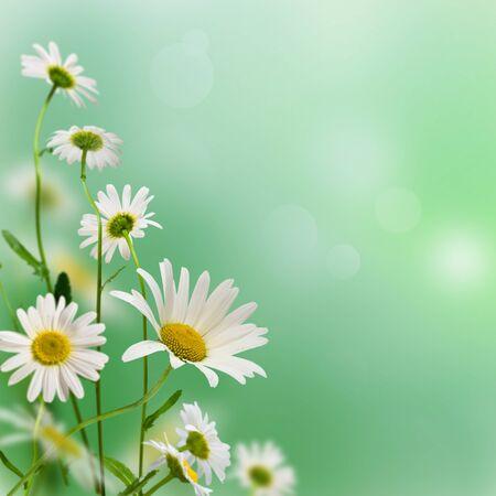 white daisywheels on blue background photo