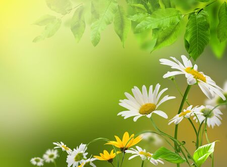 White and yellow flowers daisywheel on green background with green leafs photo