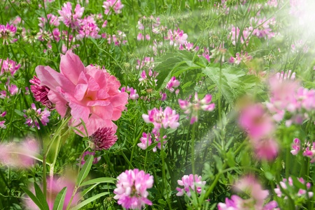 field meadow much flowers with pink white petal and green leaf  photo