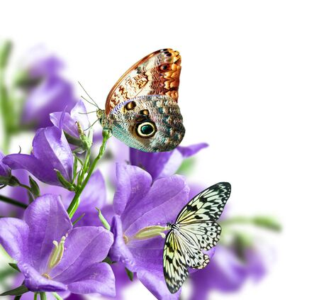 blue butterfly: blue campanulas isolated over white with butterfly