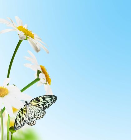 Flowers white daisywheels with butterfly on blue background photo