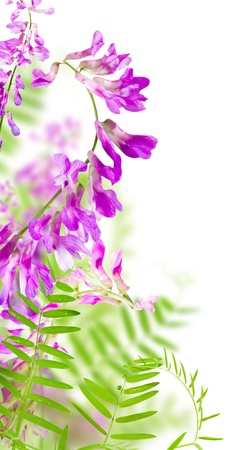 april flowers: wild flowers pink blooming on white background Stock Photo