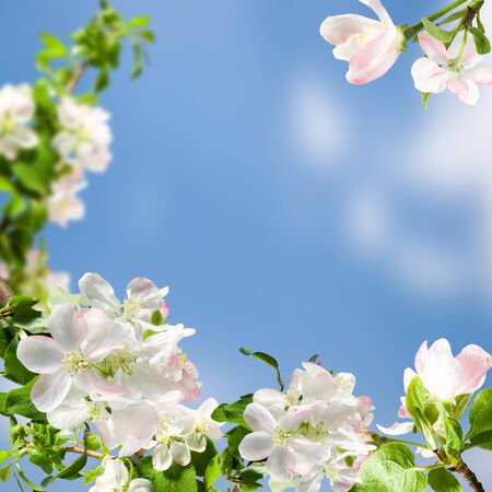 white flowers apple blossom on background blue  sky photo