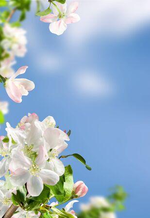 white flowers apple blossom on background blue  sky Stock Photo