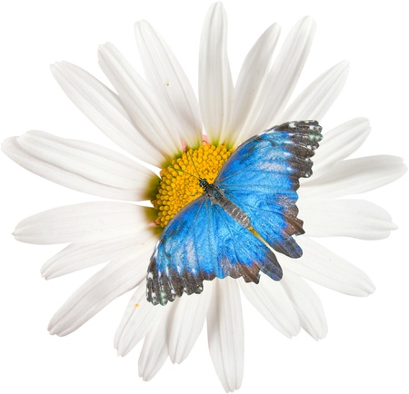 daisywheel: White flowers daisywheel with butterfly  isolated over white