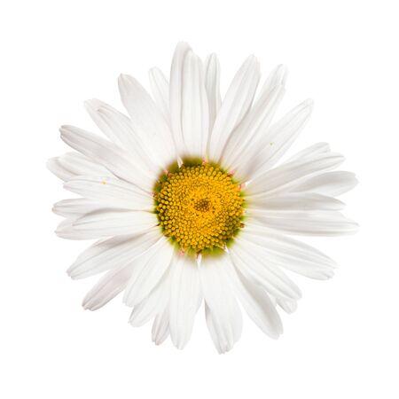 daisywheel: White flowers daisywheel closeup  isolated over white
