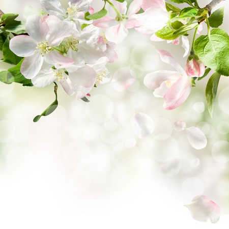 white flowers apple blossom on background white photo