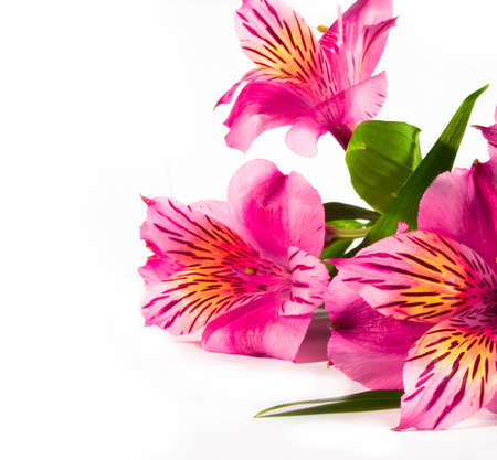 Pink flower lily isolated over white with green leaf  photo