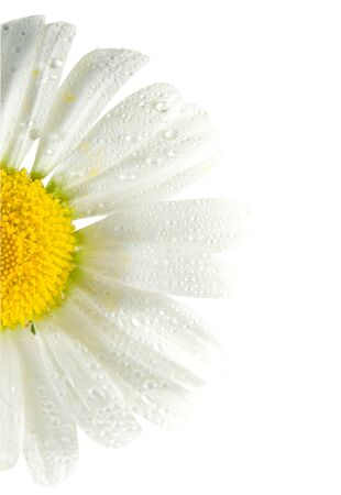 daisywheel: White flowers daisywheel with drops closeup  isolated over white Stock Photo
