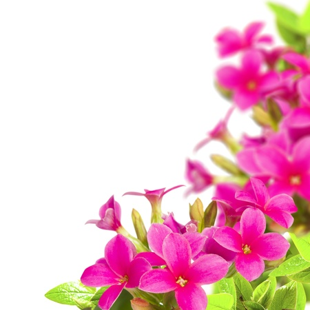 Flowers pink bouquet with green leaf isolated over white Stock Photo - 13107284