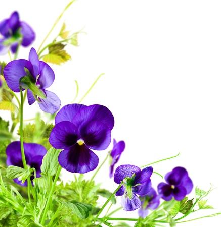 violeta: Flores violeta con hojas verdes sobre fondo blanco