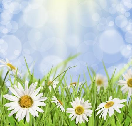 daisywheel: Flower daisywheel in green grass on background blue sky Stock Photo
