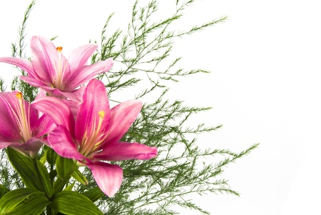 pink flower lily isolated over white Stock Photo - 13814464
