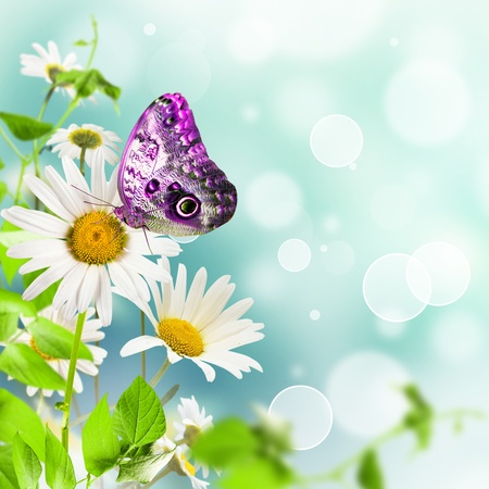 White daisywheels with butterfly on blue background photo