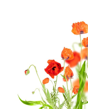 Red poppy blossom on white  background photo