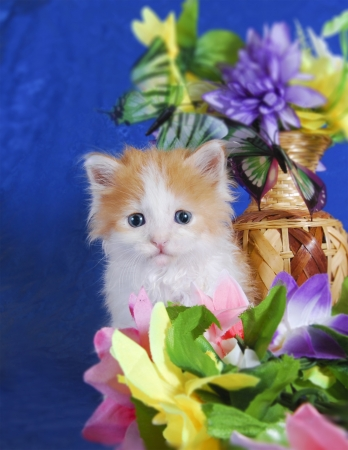 Red white fluffy kitten sits in color on a blue  photo