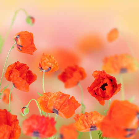 Flowers are red poppies bloomed in the field photo