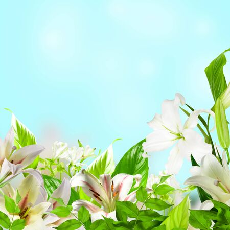 lily buds: White Lily flowers on a blue background