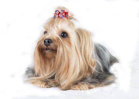Dog yorkshirskiy Terrier isolated on white background