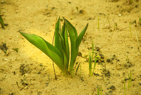 Young green tulip on spring sand in garden photo