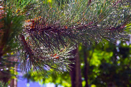 Pine big green brown branch in sunny day photo