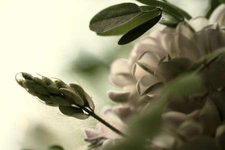 minutiae: Flowering pink rose acacia in spring weather