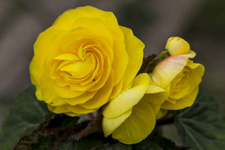 Yellow flowers of nice begonia in blooming