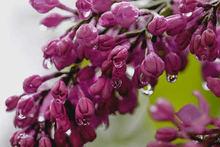 Big branch of nice smell spring lilac with drops in garden photo