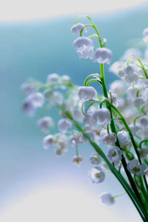 Lily- of-the-valley dream in blue colors for present photo
