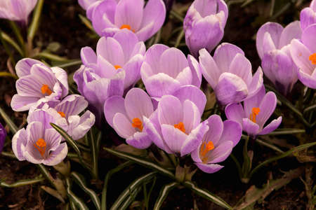 croci: Purple young little crocuses in spring air