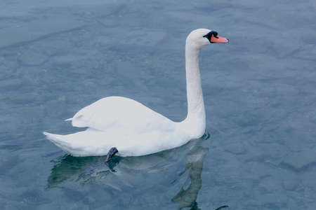 Nice white swan in clear water at day photo