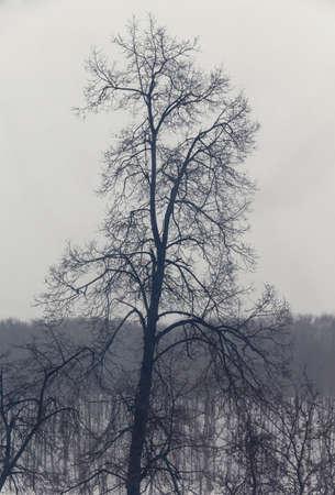 tall tree: Silhouette of tall tree in winter twilight
